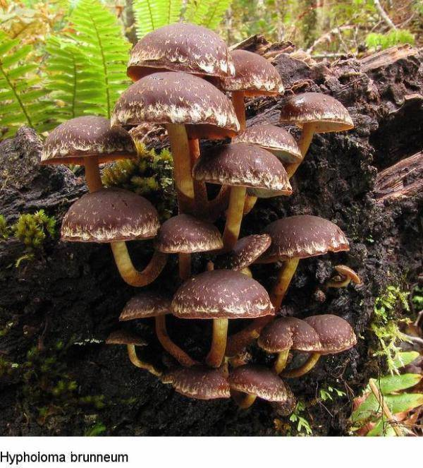 Nowozelandzkie grzyby 11