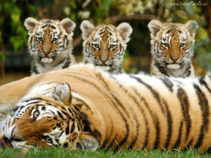 Tygrysy 3