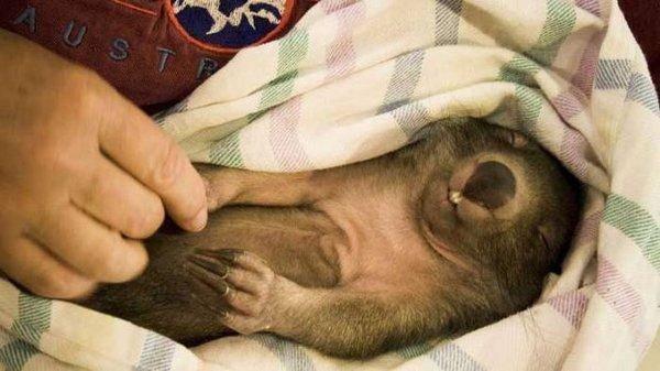 Wombat tasmański 4