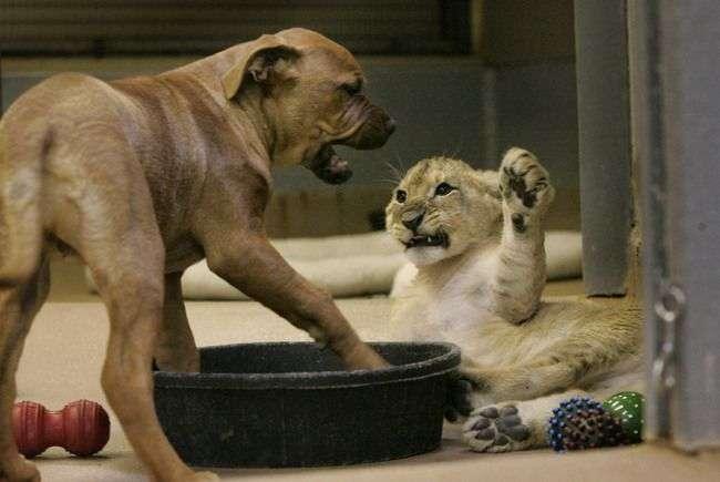 Pies i lew 17